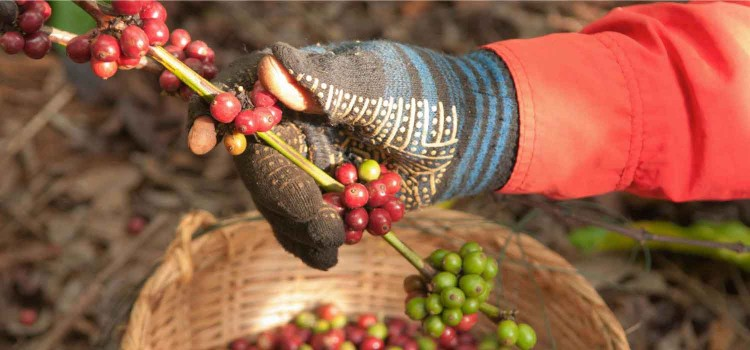 THE MAGAZINE AFRIKNOW: The coffee sector in Africa: Impacts on the economy and the environment