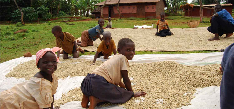AMELIORATION QUALITATIVE ET QUANTITATIVE DE LA PRODUCTION DE CAFE VERT